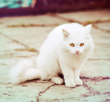 Cat-cute-eyes-golden-white-Favim com-169017