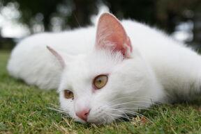 White Cat by saddle potato