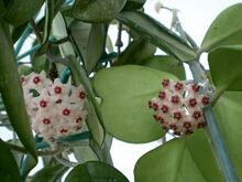 Hoya-kerrii flowers op
