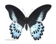 153 Blue Mormon