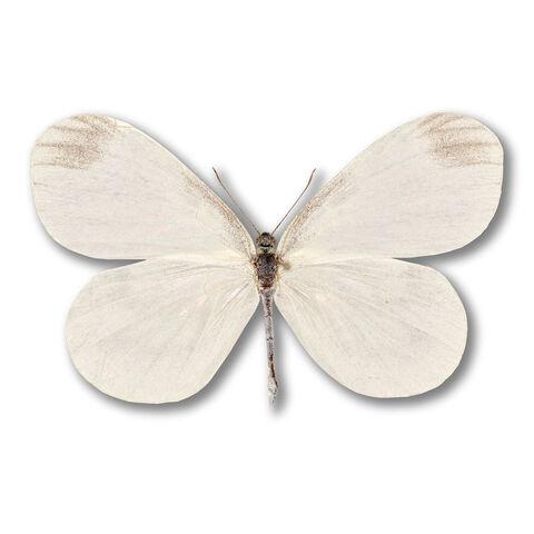 File:1 Wood White.jpg