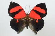 53 Scarlett Leafwing