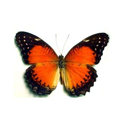 File:36 Red Lacewing.jpg