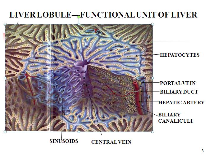 Liver lobule