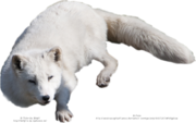 Arctic fox png by austriaangloalliance-d5ixgqb