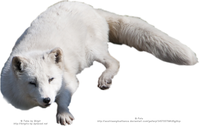 File:Arctic fox png by austriaangloalliance-d5ixgqb.png