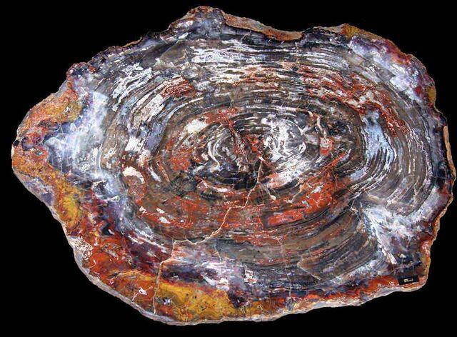 File:Petrified Wood.jpg