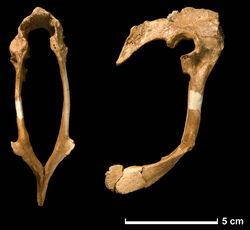 Hesperonychus pelvis
