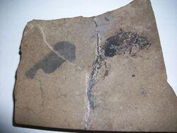 Branchiosaurus Fossil