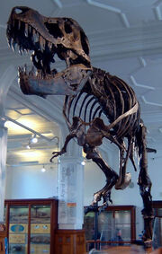 Stan the Trex at Manchester Museum