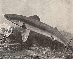 Early Shark