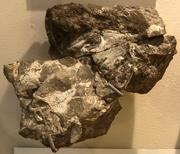 Dendrerpeton(Skull)-RedpathMuseumMontreal-June6-08