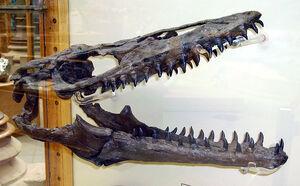 Mosasaur skull2