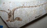 Sinosauropteryxfossil