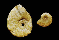 Schloenbachia varians
