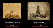 Simmorium acutus & sp.1