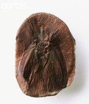 Archimylacris - Cockroach (1)