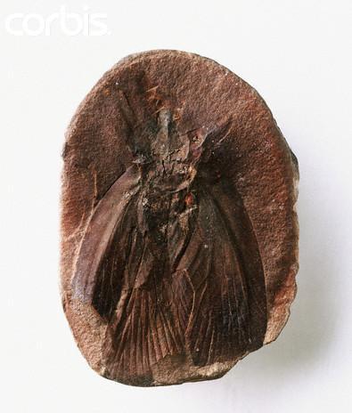 File:Archimylacris - Cockroach (1).jpg