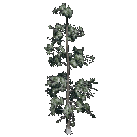 File:Eastern White Pine.png