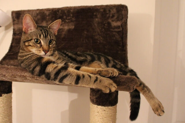 File:Classic-tabby-cat-laying-on-a-scratching-post.jpg