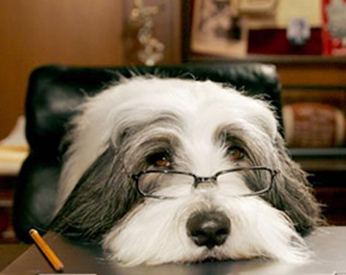File:Face shaggy dog.jpg
