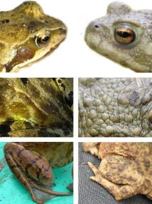 Frog-v-toad