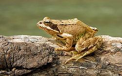 250px-European Common Frog Rana temporaria-1-