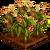 Maize-icon