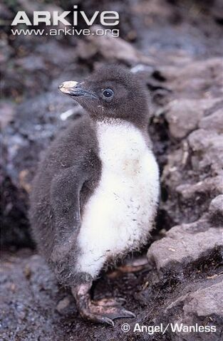 File:Northern-rockhopper-1.jpg