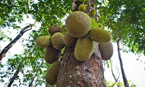 JJackfruit-or-Jack-Tree-A-007