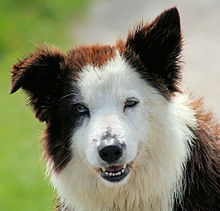 File:Canis lupus familiaris (Border Collie).jpg