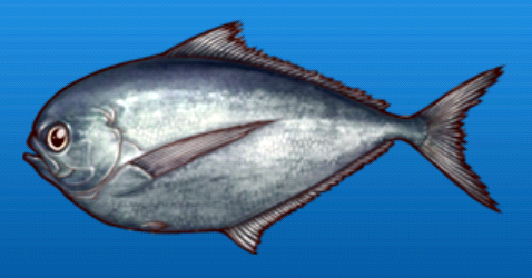 File:Pacific pomfret.png
