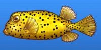 Polka Dot Boxfish