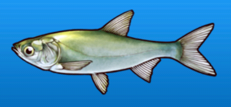File:White salmon.png