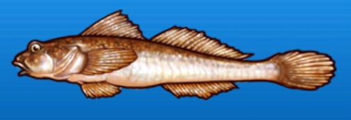File:Yellowfin goby.png
