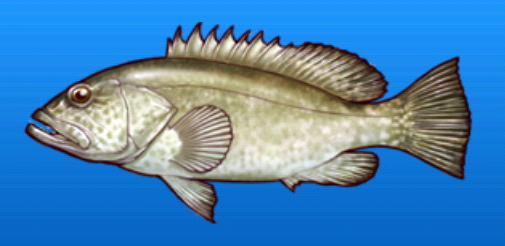 File:Grouper.png