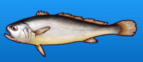 File:White croaker.png