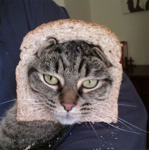 File:Crazy-Cat-Breading-11.jpg