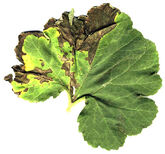 Cucurbit Bacterial leaf spot Xanthomonas campestris pv cucurbitae