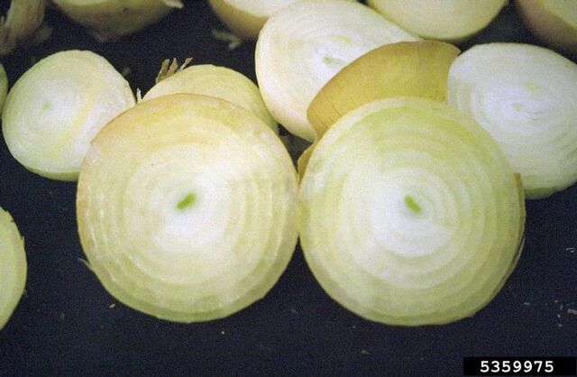 File:Onion Bruising.jpg