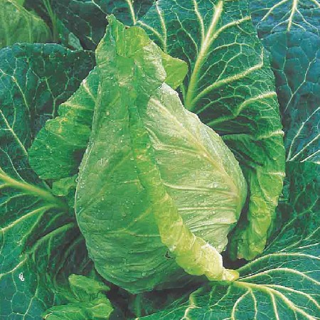 File:Spring Cabbage.jpg