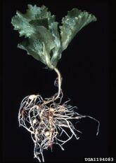 Lettuce Root-knot nematode