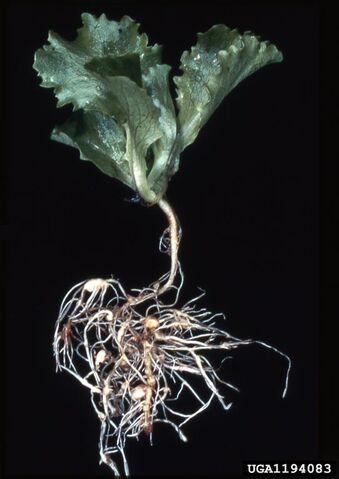 File:Lettuce Root-knot nematode.jpg