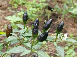 Chilli Peruvian purple
