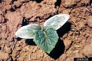 Cucumber Frost Damage