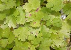 Coriander Pseudomonas syringae pv. coriandricola Leaf
