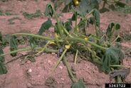 Pumpkin Phytophthora blight Phytophthora capsici