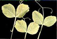 Pea Manganese deficiency Leaves