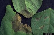 Bean Phoma Blight Phoma exigua var. exigua leaves