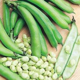 File:Broad Bean.jpg
